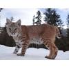 Продам котят Канадской рыси и Европейской рыси. В хорошие руки