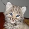 Продам красивых котят РЫСИ! ! ! ! !