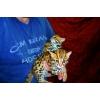 Продам котят АЛК( азиатской леопардовой кошки)